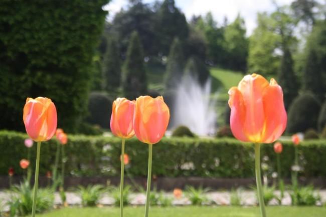 tulipani giardini estensi
