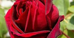 rose - sfondi desktop