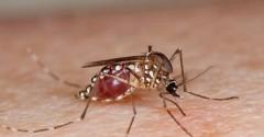 aedes-mosquito-1